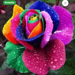 Elif Rainbow color Rose plant Seed  (100 per packet)