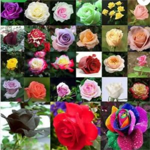 Priyathams Imported Worlds Rare 27 colors of (100 seed all mix) Rose Plant Seed  (100 per packet)